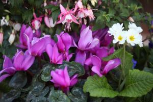April - Fuchsias & Cyclamen