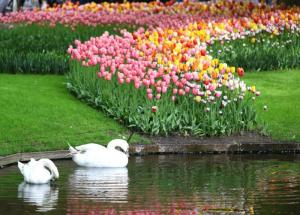 January - Dutch Tulips,