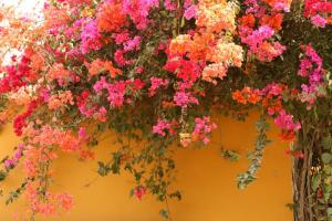 July -  Bougainvillea