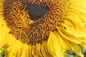 Sunflower 1      L & sm