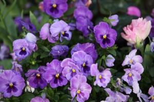 Purple Pnsies