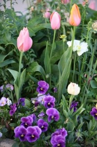 Tulips & Pansies