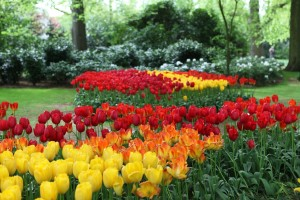 Color Mass Tulips