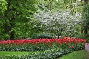 Blooming tree & red Tulips