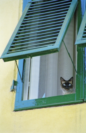 Siamese at the Shutters