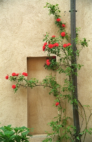 Roses on the Wall -Pienza