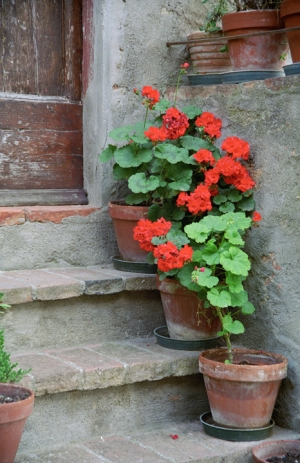 Geraniums on the Steps