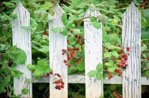 Berries on the Fence