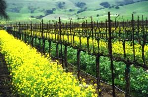Mustard & Vines     L & sm