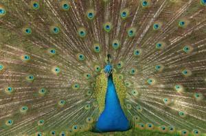 Peacock                             Lg & Sm