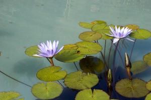 aqua-water-lily-                            Lg & Sm