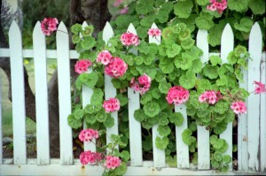 Geraniums on the fence