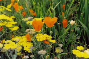 Poppies in Cambria      L& sm
